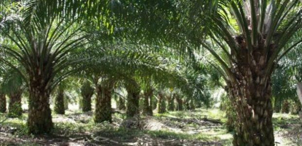 Olly Tolak Perkebunan Sawit di Sulut, Tegaskan tak Pernah Memberi Izin
